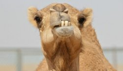 camel-teeth2-660x382.jpg