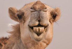 Camel Teeth.jpg